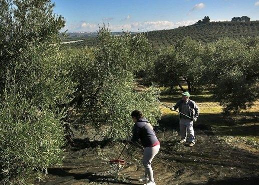 Campaña olivarera.
